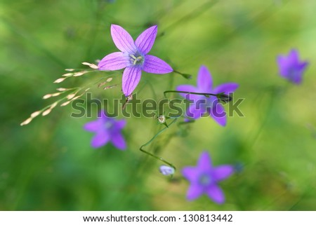 Spreading Bellflower and smooth green background - stock photo