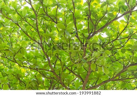 Spreading branches, canopy and fresh foliage of a beautiful leafy green tree - stock photo