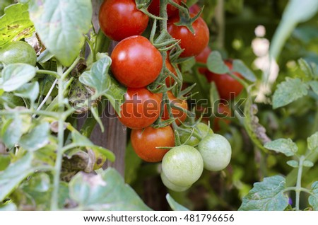 Sprig of cherry tomatoes in the garden