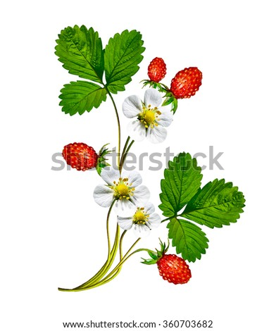 Sprig of flowers strawberries on a white background - stock photo