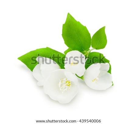 Sprig of fresh white jasmine with green leaves isolated on white background. Design element for product label, catalog print, web use. - stock photo