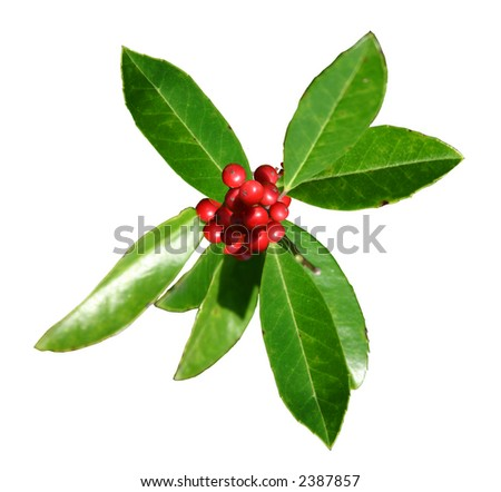 Sprig of green American Holly leaves and red berries isolated against a white background.