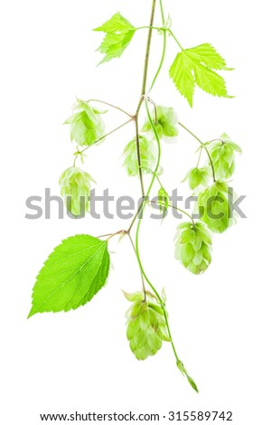Sprig of hop with cones isolated on white