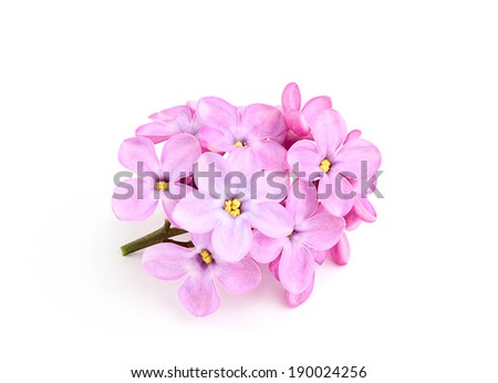 Sprig of lilac flowers(Syringa vulgaris)isolated. - stock photo