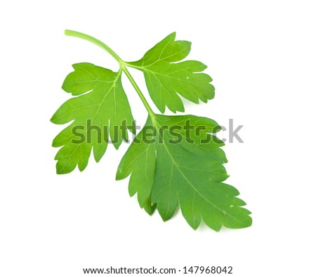 sprig of parsley is isolated on white background - stock photo
