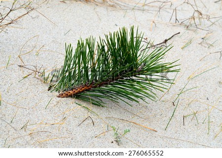 Sprig of pine breaks through the sand - stock photo
