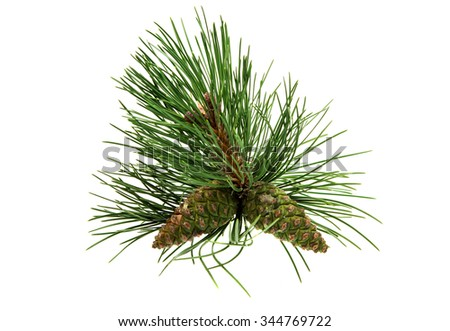 sprig of pine cones on a white background - stock photo