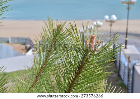 Sprig of pine. Pine cones on the branch.  - stock photo