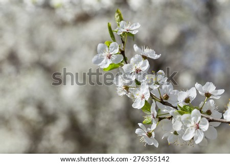 Sprig with flowers cherry plum. Flowering cherry plum in fruit orchard.