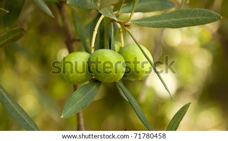 Sprig with green olives, Close Up, shallow focus - stock photo