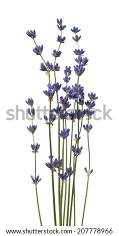 Sprigs of lavender flowers, isolated on a white background - stock photo
