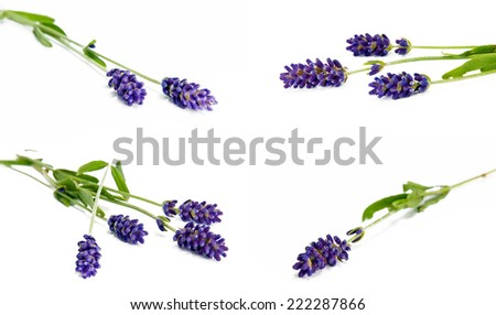 Sprigs of lavender on the white background - stock photo