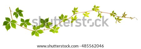 sprigs of wild grape with green leaves on a white background