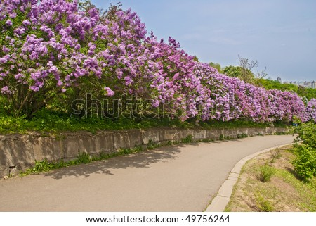 spring alley with purple lilac shrubs - stock photo