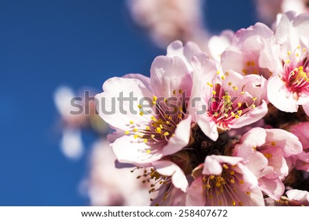 spring almond tree pink flowers with branch and blue sky outdoors - stock photo