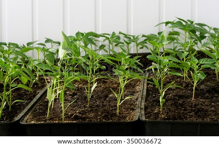 Spring and early seedlings of peppers grown from seed in boxes - stock photo