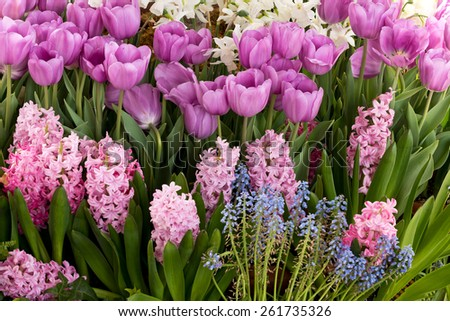 Spring and Easter Garden Tulips and Hyacinth - stock photo
