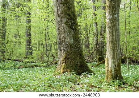 Spring anemone floral pattern, deciduous forest, Europe,Poland, Bialowieza Forest - stock photo