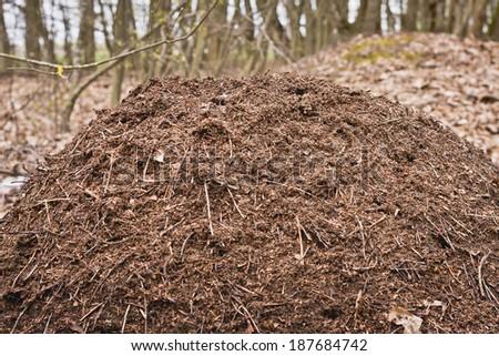 Spring .Ants awake . - stock photo