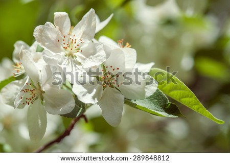 Spring apple blossom - stock photo