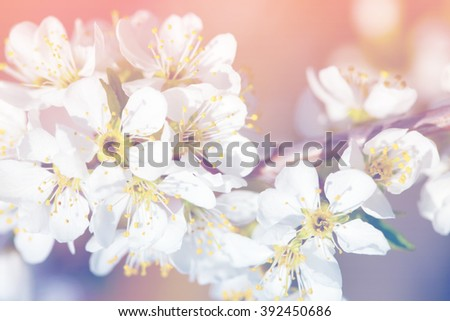 Spring apple blossom, flowers over a light pink and blue background
