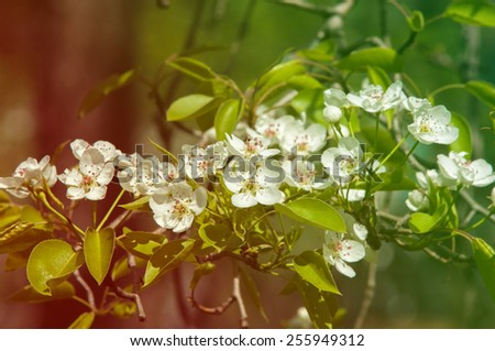 Spring. apple Trees in Blossom. flowers of apple. white blooms of blossoming tree close up. Beautiful spring blossom of apple cherry tree with white flowers.  - stock photo