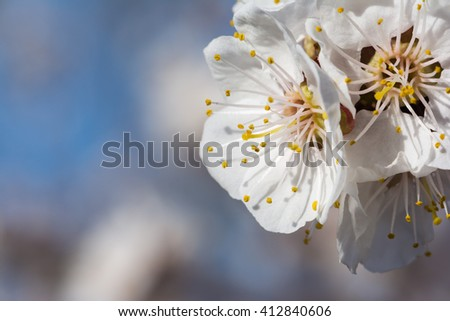 Spring apricot blossom - stock photo
