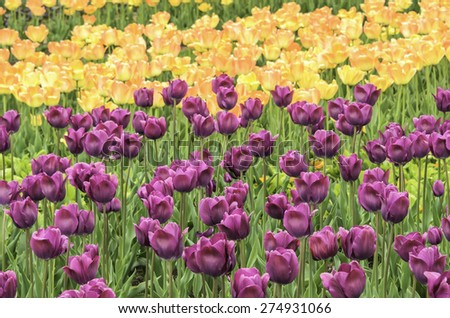 Spring at a glance: Arrays of pink and yellow tulips in garden (foreground focus) - stock photo
