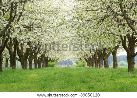 Spring avenue in cherry orchard. Central Poland. - stock photo
