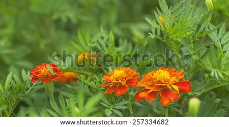 Spring background, fresh marigold flowers live growing in an organic garden as beneficial companion plants  - stock photo