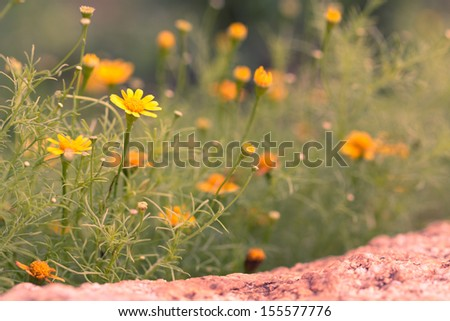 Spring background of beautiful yellow daisy flowers vintage style - stock photo