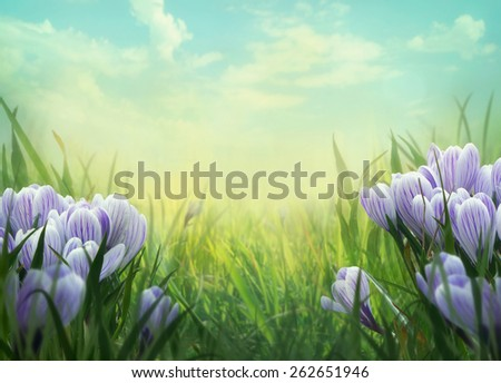 Spring background. Springtime  with crocus flowers. Crocus flowers in meadow. Nature background. - stock photo