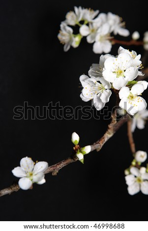 Spring background with plum flowers on black. - stock photo
