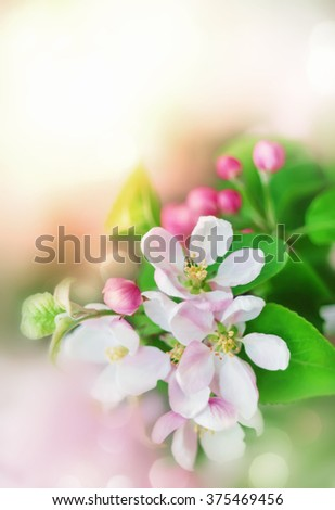 Spring background with white and pink blossom flowers - stock photo