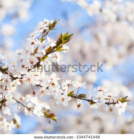 Spring beauty blooming white flowers trees stock photo royalty free blooming white flowers of trees on the blue sky background spring blossom mightylinksfo