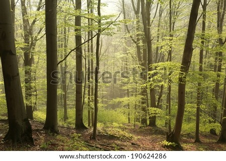 Spring beech forest at dawn. - stock photo