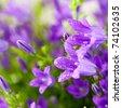 Spring bell flowers closeup - stock photo
