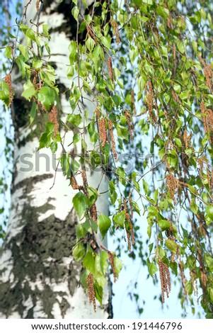 Spring birch buds and white birch tree on blue sky background - stock photo