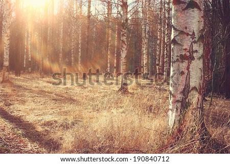 Spring birch forest - stock photo