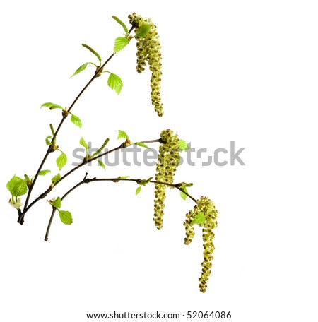 spring birch twigs with young leaves isolated - stock photo