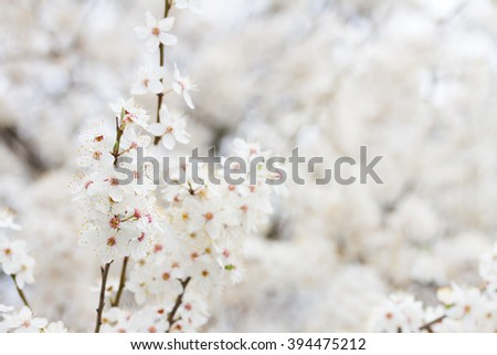 Spring bloom - tree twigs with white flowers, shallow focus - stock photo