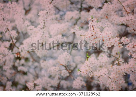 Spring bloom - tree with white flowers, shallow depth of field, retro toned - stock photo