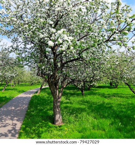 spring blooming apple tree in bright green orchard
