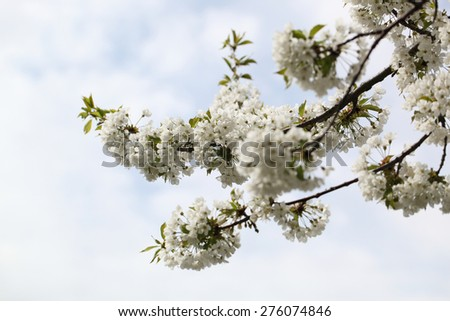 Spring blooming cherry. - stock photo