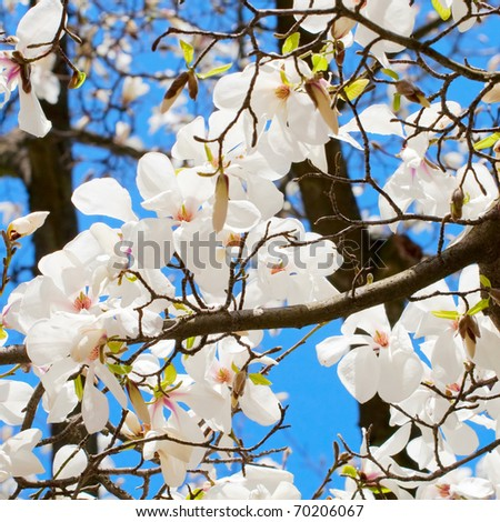 Spring blooming cherry branch close-up - stock photo