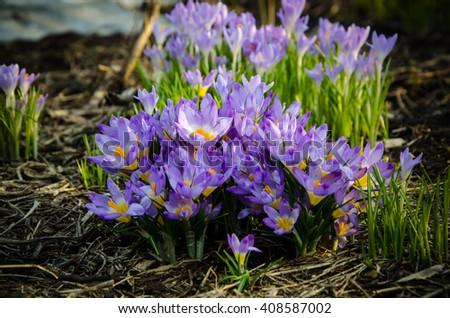 spring blooming crocus blooming in the garden  - stock photo