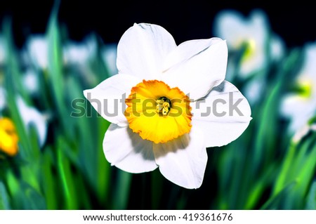 Spring blooming narcissuses, selective focus. Narcissus flower yellow, white. Narcissus L. Daffodils white yellow. - stock photo