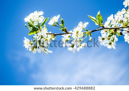 Spring blooming on sour cherry tree branches / cherry sakura blooms in soft background of flowering branches and sky, early spring white flowers bokeh / apple tree blooming / flowers - stock photo