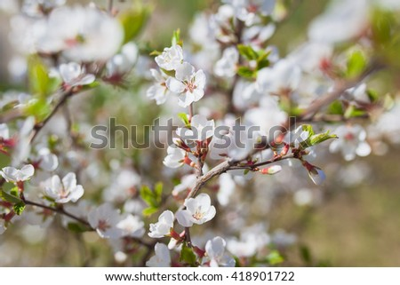 Spring blooming tree,  dreamy sunny background, beautiful fine art photo style, little white flowers on tree branch over sunset, garden on spring season - stock photo