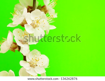 spring blossom on yellow background - stock photo